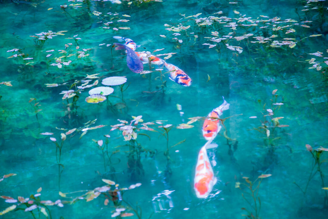 モネの池で撮影した鯉の写真その3