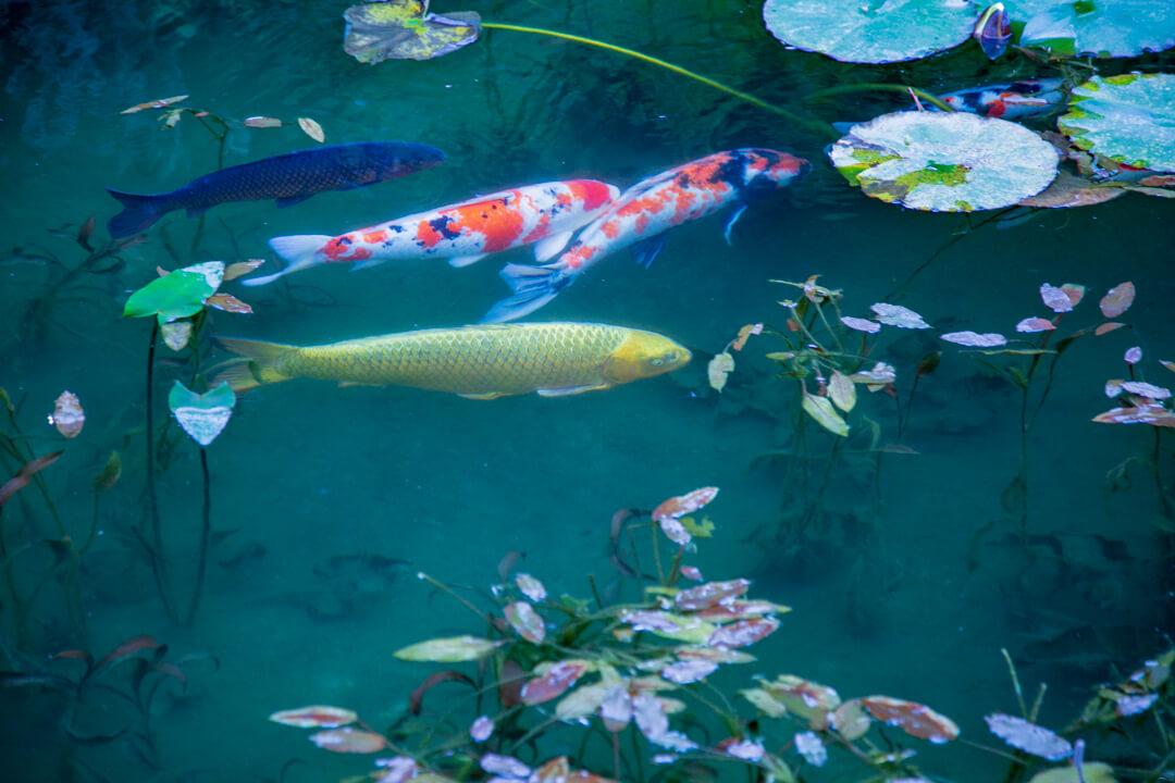 モネの池で撮影した金の鯉の写真