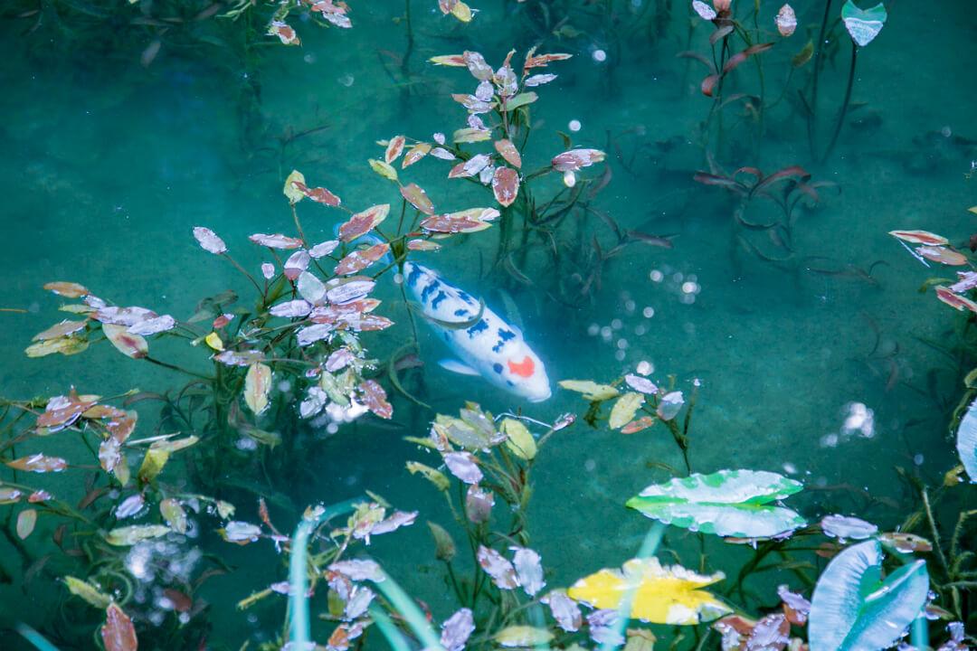 モネの池で撮影したハート型の鯉の写真