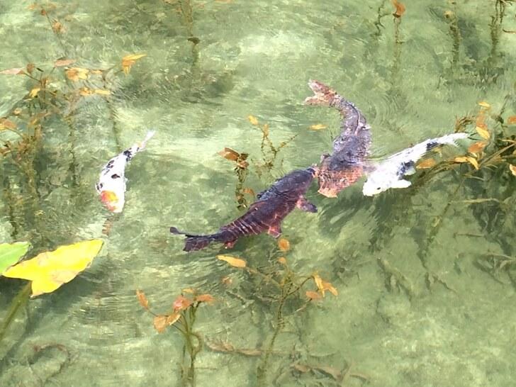 モネの池で撮影した鯉の写真その1
