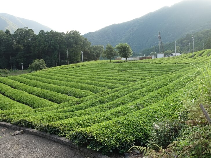 天空の茶畑を地上から眺めた写真その1