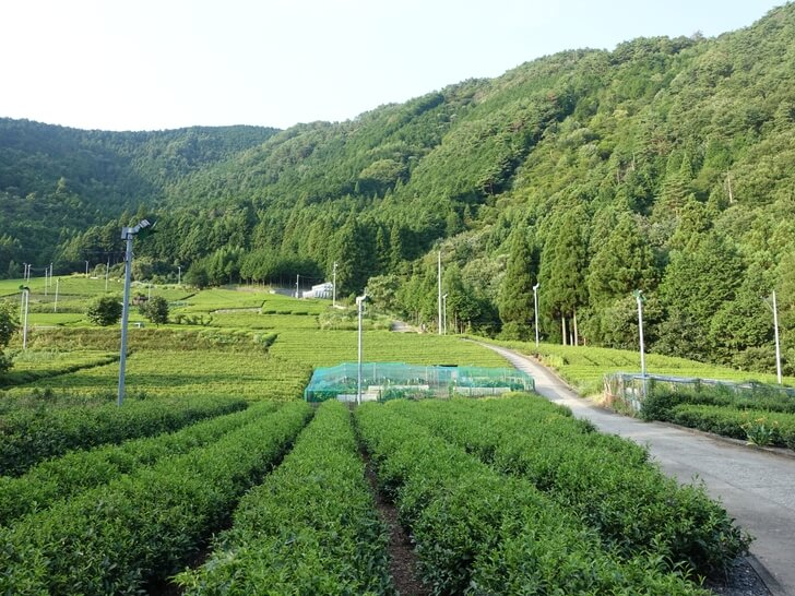 天空の茶畑を地上から眺めた写真その2