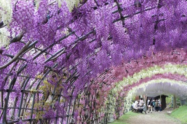 福岡の観光名所・河内藤園の写真
