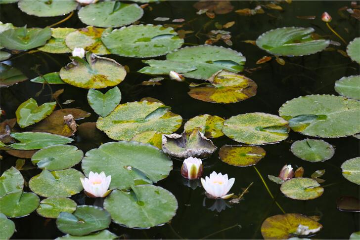 モネの池でに咲く睡蓮の写真