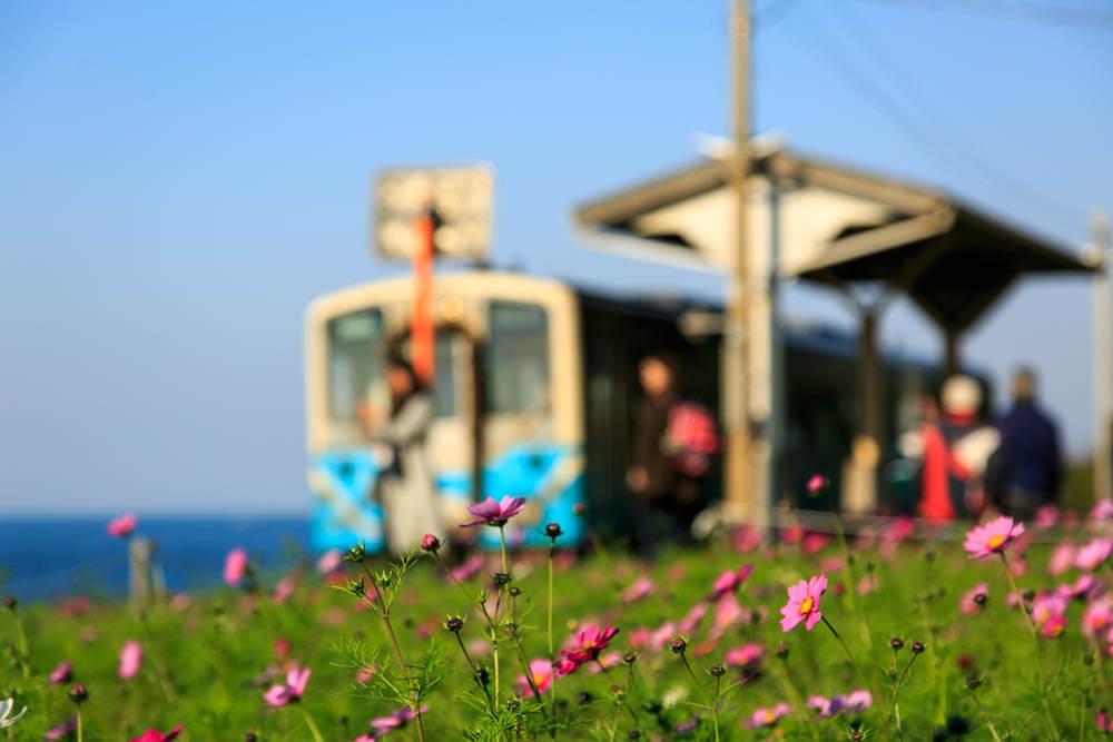 下灘駅に咲いたコスモスの花の写真