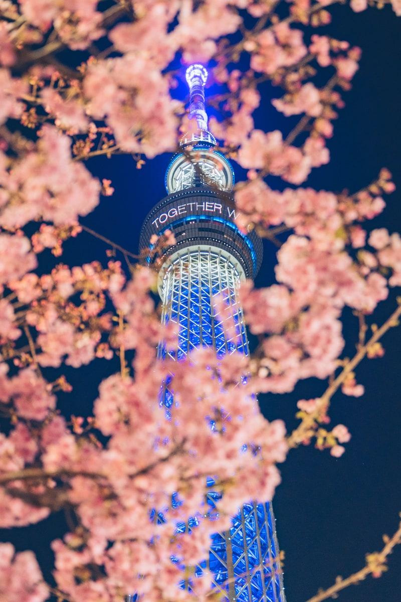東武橋から撮影した河津桜とスカイツリー
