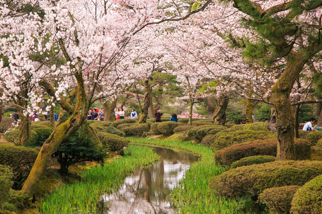 日本三名園兼六園の桜の写真