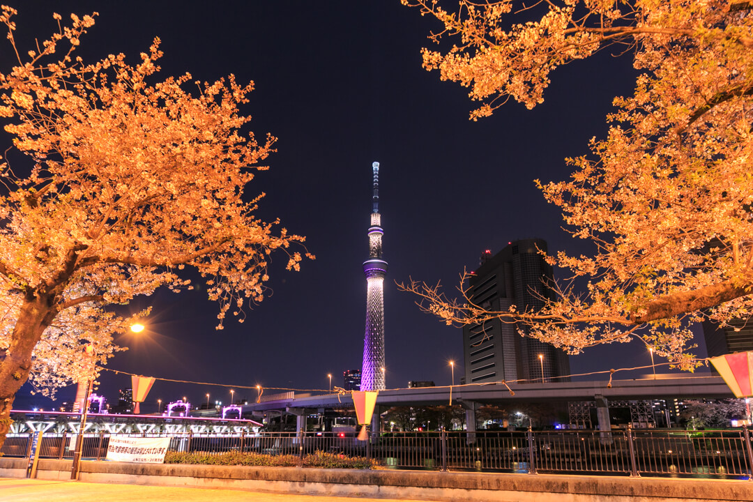 隅田公園から撮影した東京スカイツリーと夜桜の写真