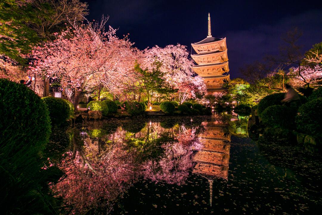 東寺と夜桜の写真