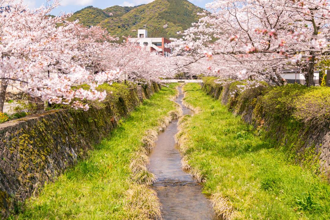 桜満開の一の坂川